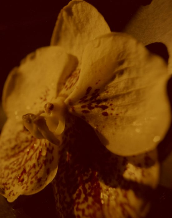 ORCHID POLA 3